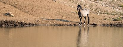 Silver Gray Grulla wild horse stallion reflecting at the waterhole in the Pryor Mountains Wild Horse Range in Montana USA Stock Photos