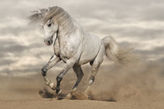 Silver gray horse in desert. Toned image Stock Images