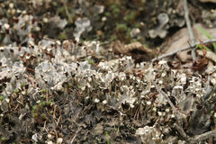 Silver gray moss with spores and dead leaves Stock Image