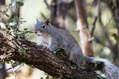 Silver - gray squirrel Stock Image