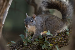 Silver - gray squirrel Stock Photography