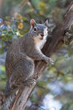 Silver - gray squirrel Royalty Free Stock Photos