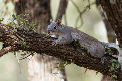 Silver - gray squirrel Stock Photos
