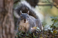 Silver - gray squirrel Royalty Free Stock Image