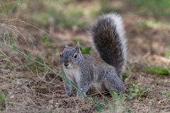 Silver - gray squirrel Royalty Free Stock Photography