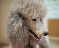 Standard Poodle Close-up. Silver gray standard poodle head shot Royalty Free Stock Image