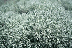 Silver green soft garden plant Stock Images