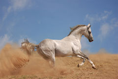 Silver grey akhal-teke horse. In a desert stock photo