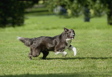 Silver grey border collie runs on a green field royalty free stock image