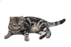 Silver grey tabby cat. Laying down on a white background Stock Photography