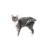 Silver grey tabby cat. With white chest and paws isolated on white background Royalty Free Stock Photography