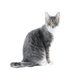 Silver grey tabby cat. With white chest and paws isolated on white background stock photography