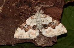 Silver ground carpet moth. Royalty Free Stock Images