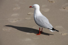 Silver gull Royalty Free Stock Image