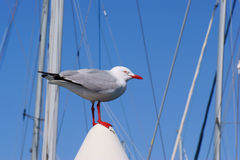 Silver Gull Royalty Free Stock Photo