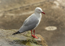 Free Silver Gull Royalty Free Stock Photos - 57695368