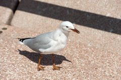 The silver gull in Australia Royalty Free Stock Photo