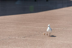 The silver gull in Australia with food on the ground. Shadow zone in background. Stock Photography