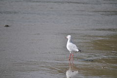 Silver gull Stock Image