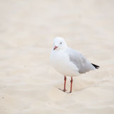 Silver gull Stock Photos