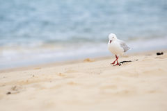 Silver gull Royalty Free Stock Images