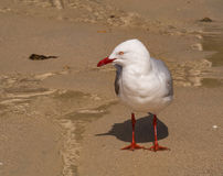 Silver gull Stock Images