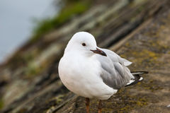 Silver Gull bird at the shore of the river Stock Photo