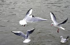 Silver Gull, Black-Headed Gull, Sea Stock Images