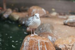 Silver gull in captivity royalty free stock images