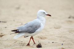 Silver Gull (Chroicocephalus novaehollandiae) Royalty Free Stock Photos