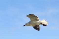 Silver Gull (Chroicocephalus novaehollandiae) Stock Image