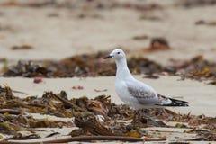 Silver Gull (Chroicocephalus novaehollandiae) Royalty Free Stock Photography