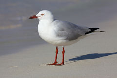 Silver Gull Royalty Free Stock Photography