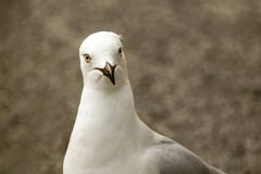 Free Silver Gull Face Only, Sharp, Clear, Bright Eyed Royalty Free Stock Photos - 159833798