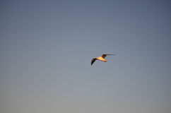 A Silver Gull in Flight over Aspendale Beach, Melbourne, Australia Stock Images