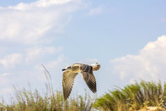 Silver gull flying Royalty Free Stock Images