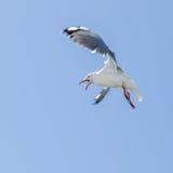 Silver gull Stock Photos