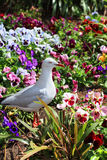 Silver Gull in garden bed of pansies Royalty Free Stock Photo