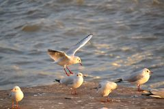 Silver gulls with red beaks and legs gathering Royalty Free Stock Image