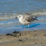 A SIlver gull, Larus argentatus, standing in shallow water.  royalty free stock photos