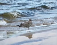 A SIlver gull ,Larus argentatus, standing in shallow water. A SIlver gull, Larus argentatus, standing in shallow water royalty free stock images