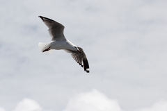 Silver Gull (Larus novaehollandiae) Royalty Free Stock Images