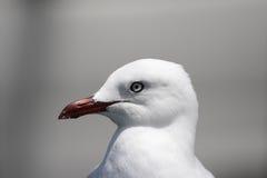 Silver Gull (Larus novaehollandiae) Stock Image