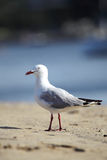 Silver Gull (Larus novaehollandiae) Stock Photography
