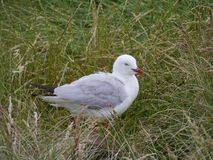 Silver gull (larus novaehollandiae) Stock Photos