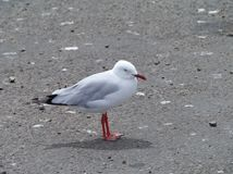 Silver gull Stock Photo