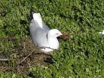 Silver gull on nest Royalty Free Stock Photo