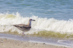 Free Silver Gull On Romanian Beach Stock Photography - 65832962