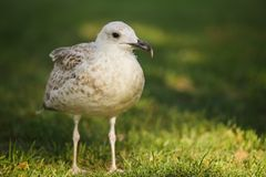 Silver gull in a park Stock Images