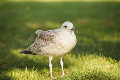 Silver gull in a park Stock Photography